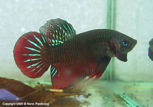 Betta splenden duoi ngan